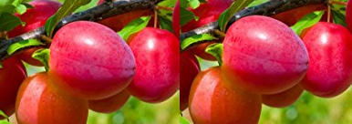 Plum meaning in hindi, Spanish, tamil, telugu, malayalam, urdu, kannada name, gujarati, in marathi, indian name, marathi, tamil, english, other names called as, translation