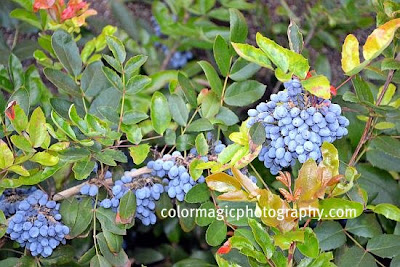 Berberis repens-Mahonia berries