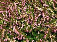 Vårlyng i blomst