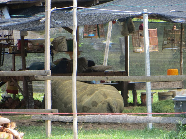 Огромный буйвол спит