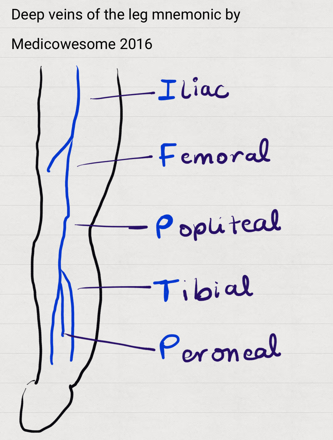 Deep veins of the leg anatomy