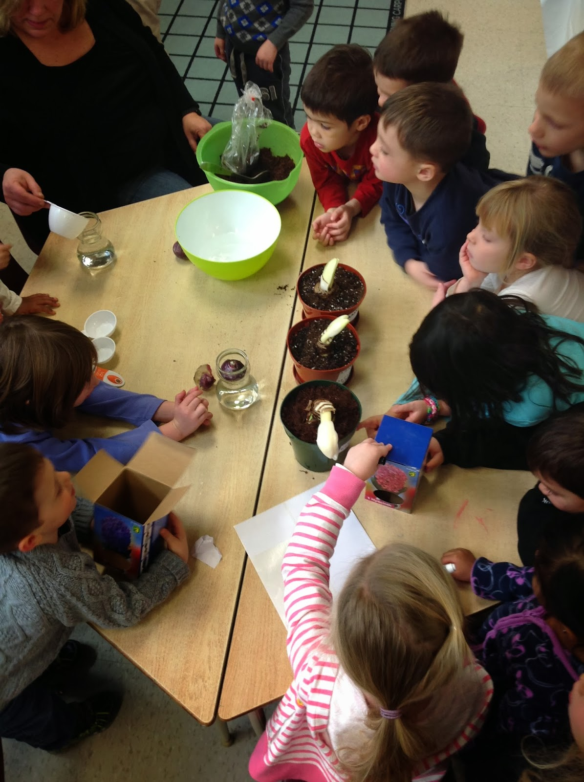 Wonders In Kindergarten Investigating Bulb Plants
