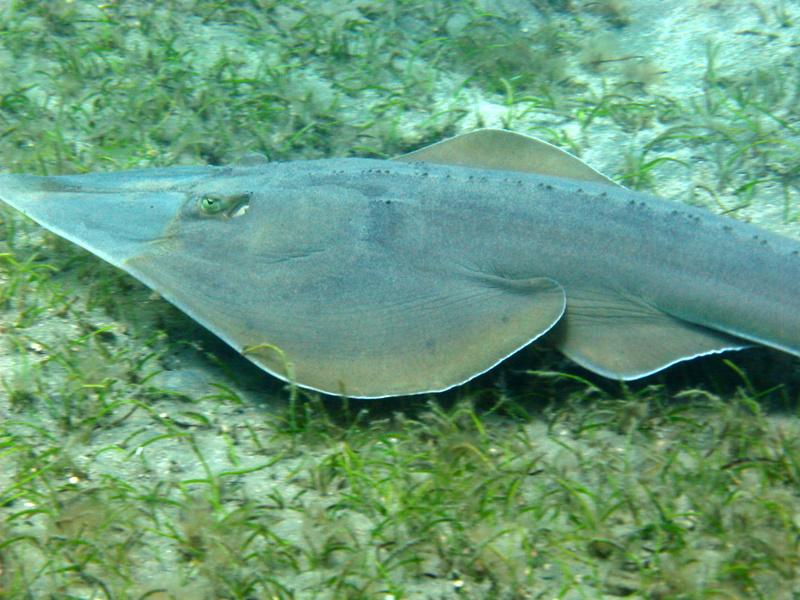 Roberto piazza immersioni nel mondo rhinobatos cemiculus for Pesce rosso razza