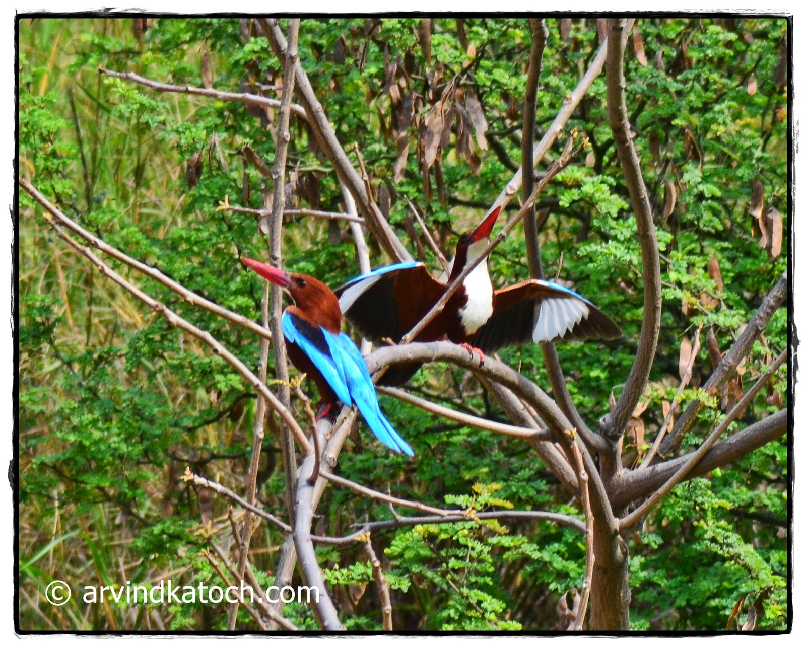 White Throated Kingfisher, Wings open,