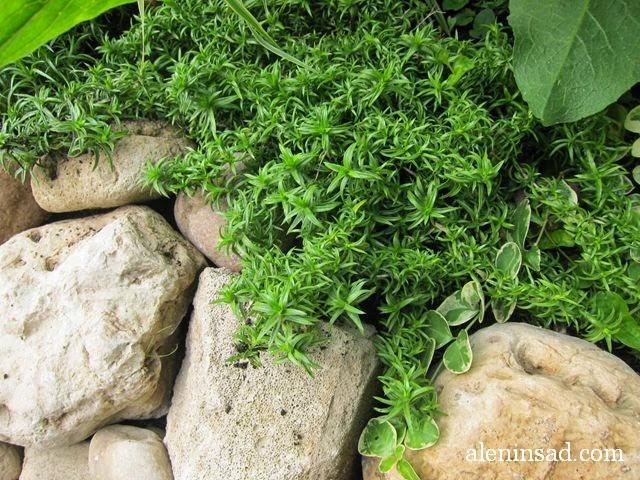 флокс шиловидный, phlox subulata, почвопокровные растения, цветы, алёнин сад, мульча, рокарий, камни