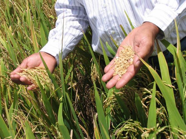 Productores de arroz subirán el cereal dicen no aguantan la situación actual que vive el País.