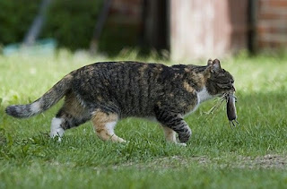 Kucing Kampung hama hunter