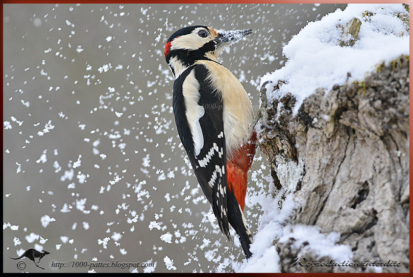 The Great spotted woodpecker in the snow