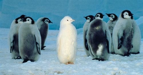 Albino Penguin | Fun Animals Wiki, Videos, Pictures, Stories