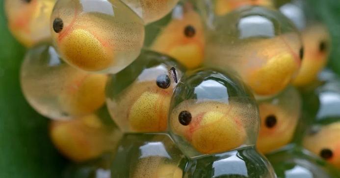 Penyebab Telur Ikan Lele Tidak Menetas Penyuluh