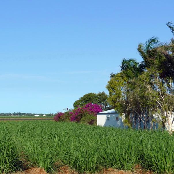 Zuckerrohr Felder Bundaberg Rum