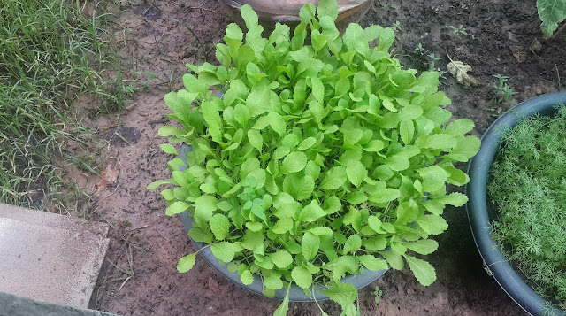 ต้นผักกาดเขียวปลีสวยๆ