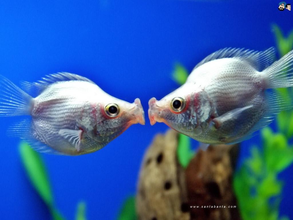 cá hôn nhau đắm đuối trong bể thủy sinh