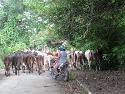 Cattle on the road Ometepe Island, Nicaragua