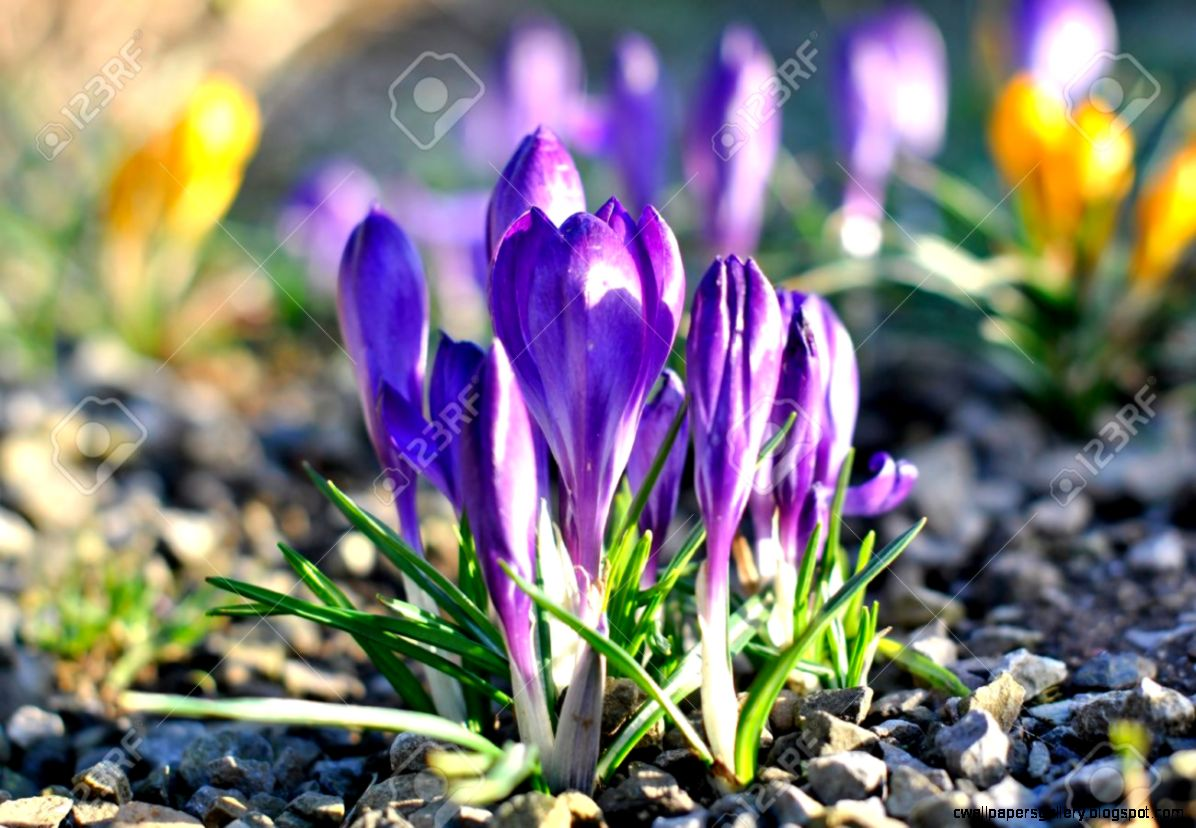 purple early spring flowers wallpapers gallery