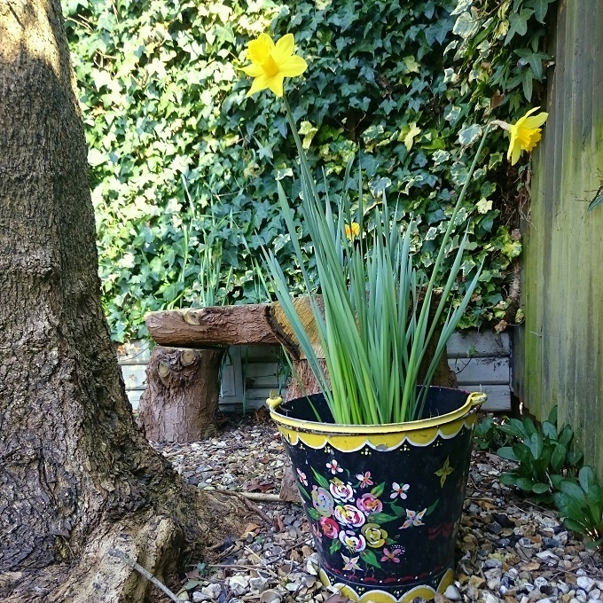 spring daffs in painted bucket