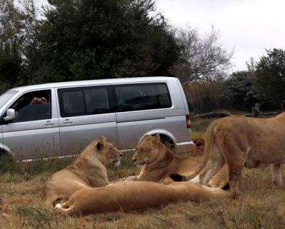 lion - 9JA NEWS: Oyo State Government Closes Agodi Zoo After Lion Attacked & Killed Attendant