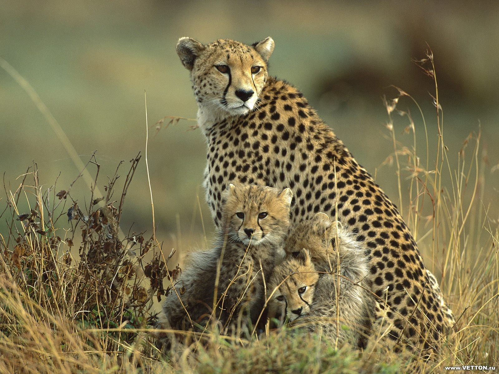 Beautiful Wallpapers: Baby Cheetah Wallpaper