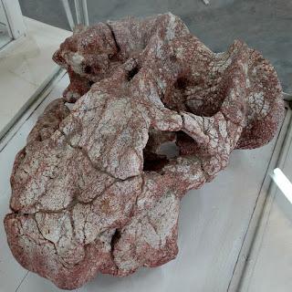 Crânio Fossilizado - Museu de Mata (RS)