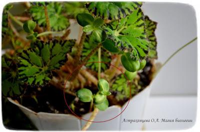 rostki-podsolnuha-v-cvetochnom-gorshke
