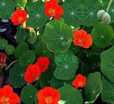Nasturtium Plant