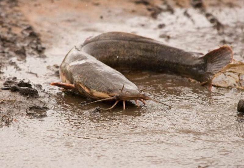 Làm mồi nhậy và cách câu cá Trê