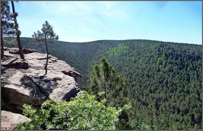Abedular entre pinos en la Hoz De Los Álamos (Sierra De Valdemeca)