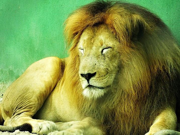 O leão do Parque Santur estava sonolento, desinteressado