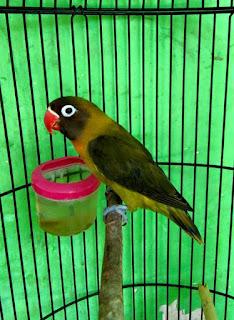 cara mencetak lovebird olive