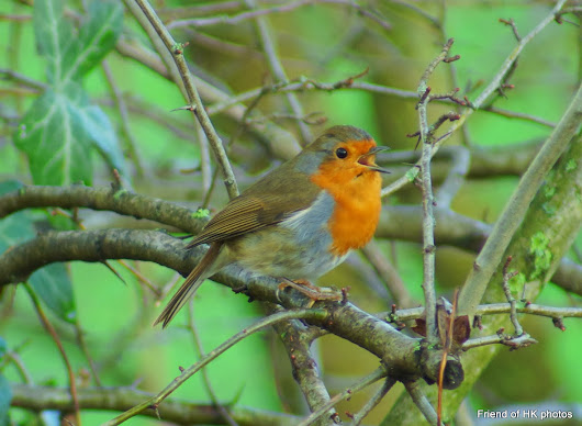 Photographic Wildlife Stories in UK/Hong Kong: A Little Friend---Robin