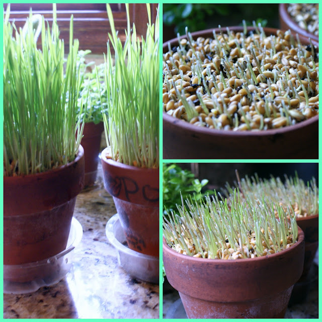 sprouting wheat grass seeds