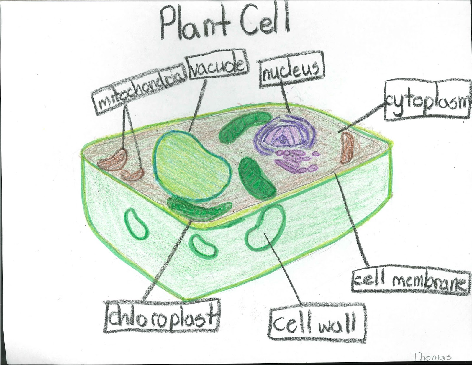 Junior Historians Awesome Plant Amp Animal Cells