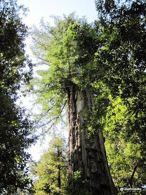 Big Basin en los bosques de California