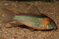 Jenis Ikan Corydoras eques