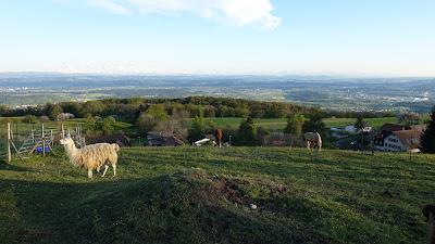 Lamas und Pferde bei Farnern