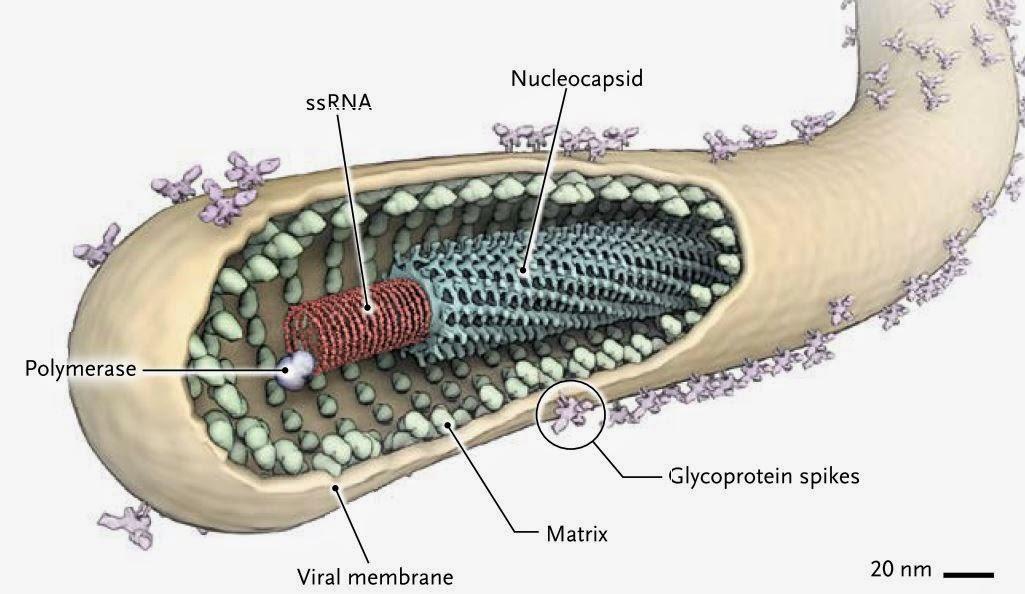 Cientistas descobrem como ebola afeta sistema imunolgico ggn o vrus foi batizado com o nome do rio ebola do congo onde o surto ocorreu primeiro reheart Images