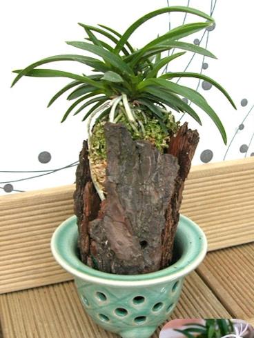 Charming Orchid Neofinetia Falcata