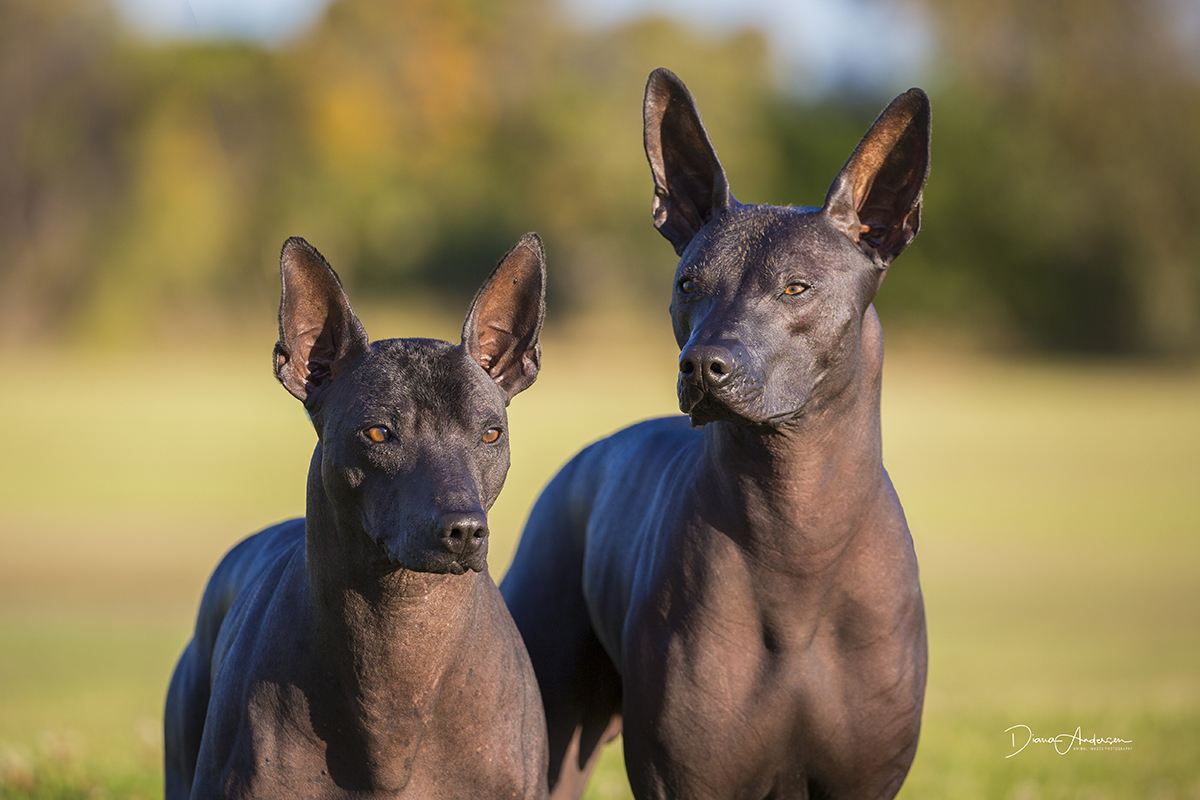 Xoloitzcuintle Or Mexican Hairless Dog