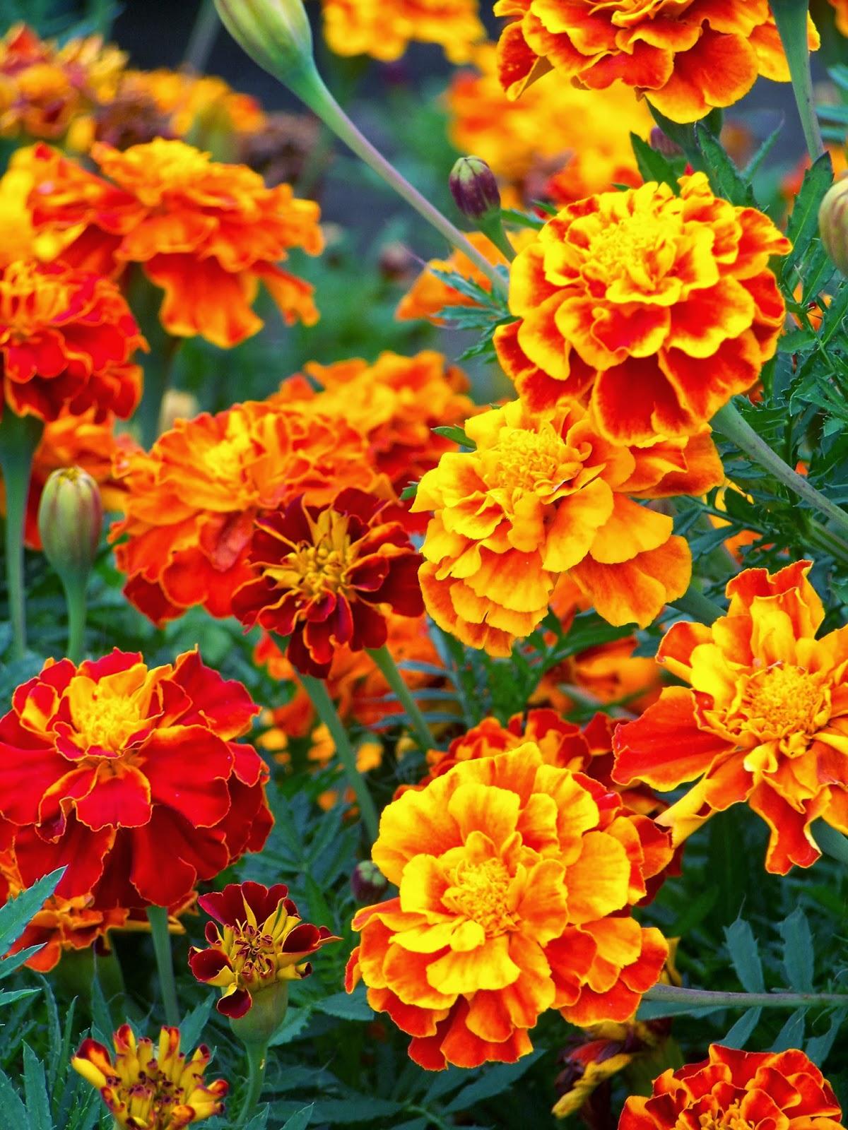 The Marigold Tarot Major Arcana The: Tell Me A Story: MARIGOLD FLOWER BED