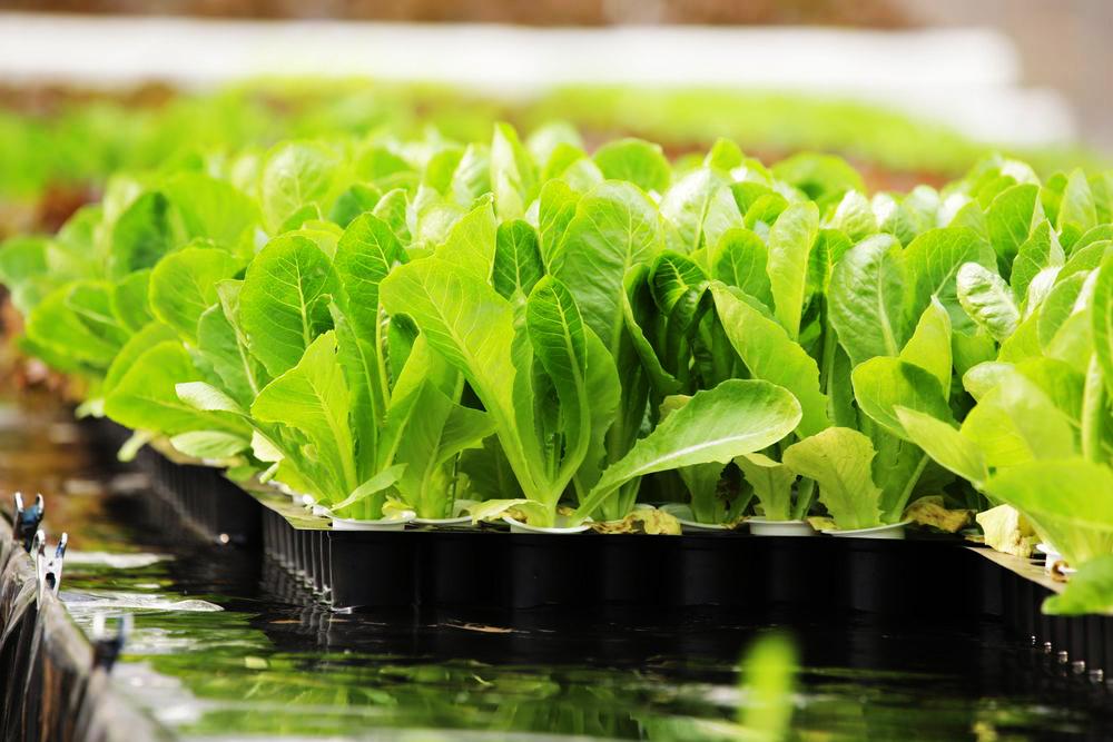 Bagaimana Membuat Sayuran Hidroponik Nyaman Seperti Tumbuh