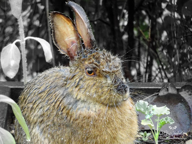 Wet Wild Rabbit