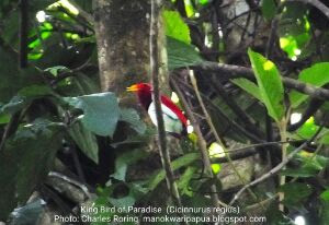 Birding tour with Charles Roring in Susnguakti forest of Manokwari