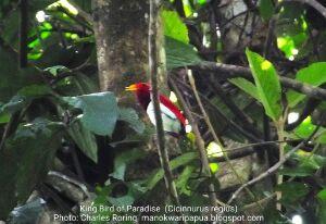 Birding tour with Charles Roring in Susnguakti forest of Manokwari
