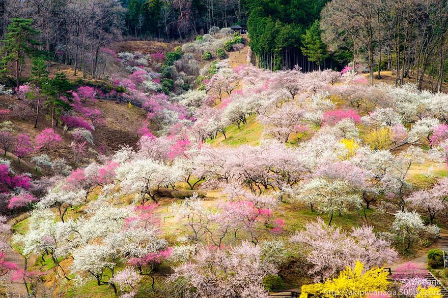 cherry-blossom-sakura-9