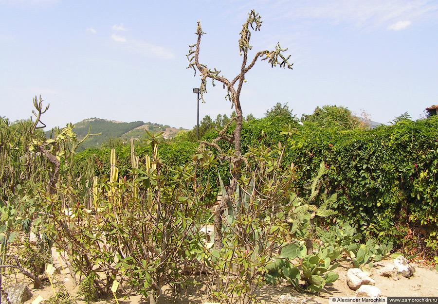 Кактусы в Балчике