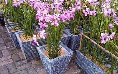 Cara Menanam Bunga Anggrek Yang Benar dan Praktis