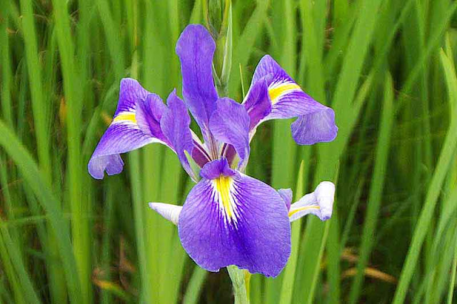 flower, purple and yellow, iris