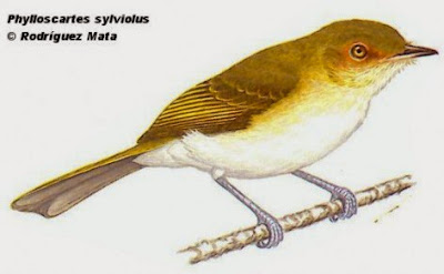 tyrannulet birds
