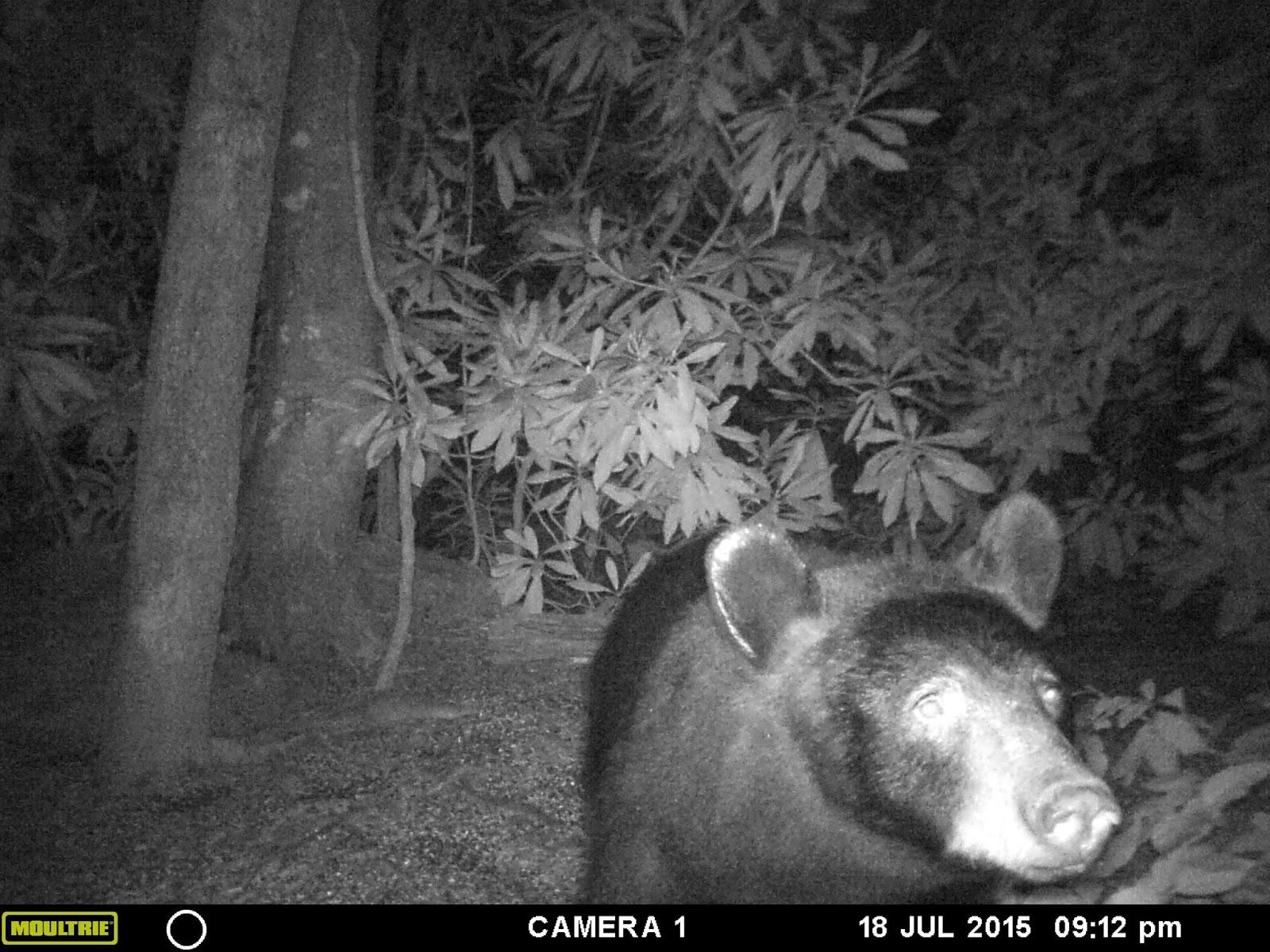 black bear talk wildlife camera
