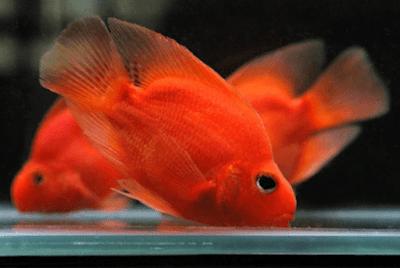 Ikan Perusak Aquascape - Ikan Parrot